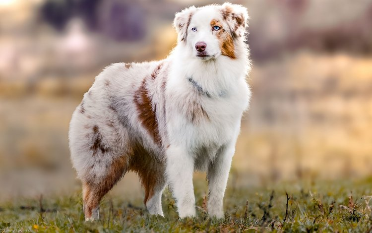 muzzle, look, dog, australian shepherd, aussie, zanny stwertka