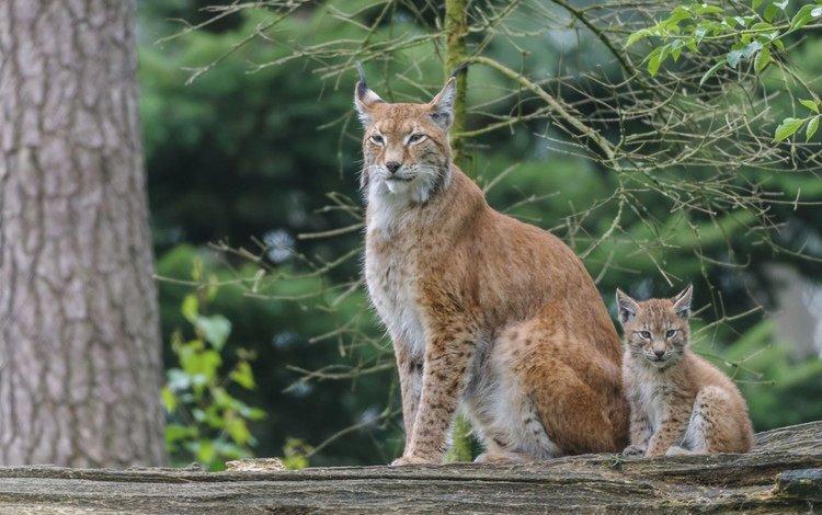 lynx, predator, big cat, cub