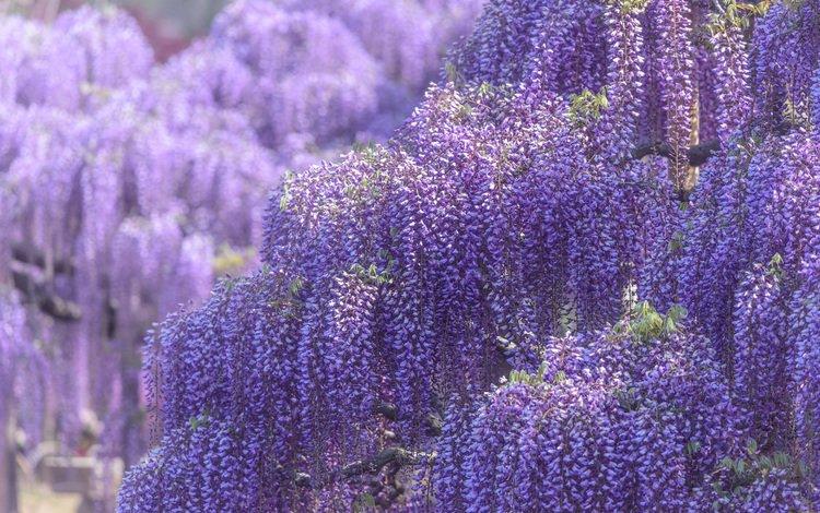 flowers, flowering, spring, wisteria