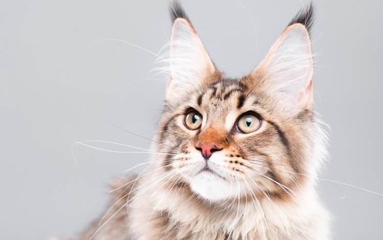 eyes, background, cat, mustache, look, maine coon