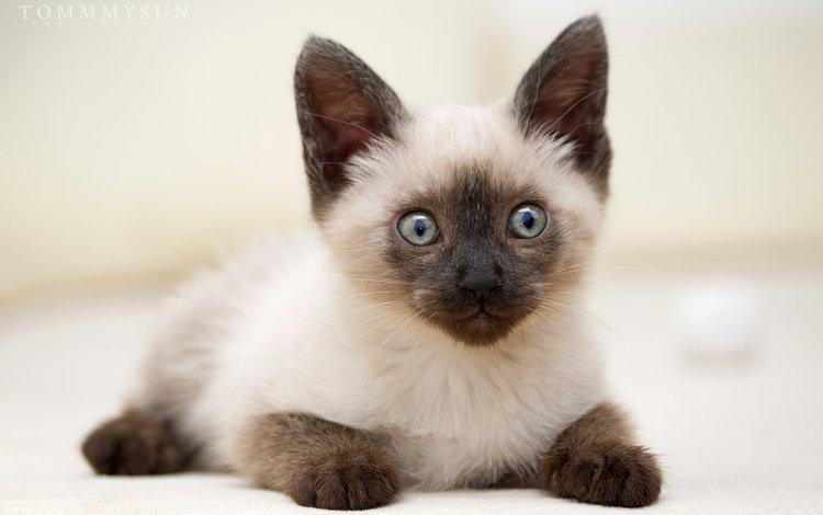 cat, muzzle, mustache, look, kitty, thai