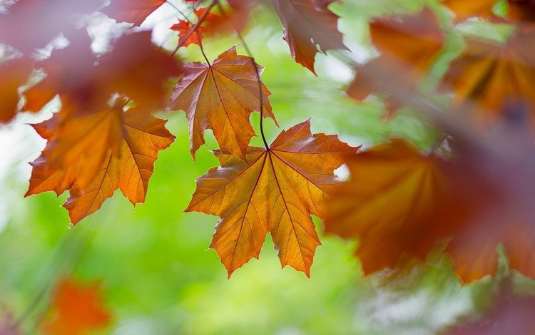 leaves, macro, autumn, maple