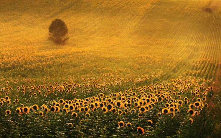 tree, field, sunflowers, yellow flowers