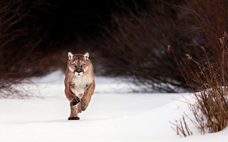 face, snow, winter, look, predator, running, puma, wild cat, cougar