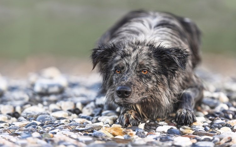 stones, muzzle, look, dog, the border collie