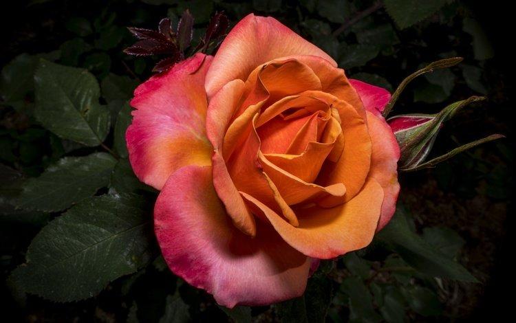 листья, цветок, роза, лепестки, leaves, flower, rose, petals