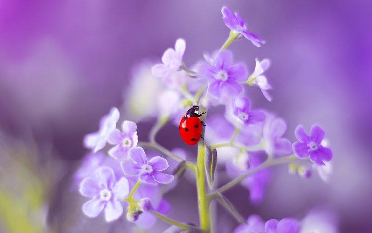 цветы, макро, насекомое, лето, божья коровка, незабудка, flowers, macro, insect, summer, ladybug, forget-me-not