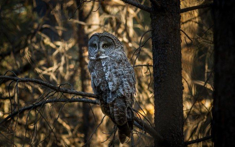 деревья, сова, лес, ветки, птица, неясыть, trees, owl, forest, branches, bird