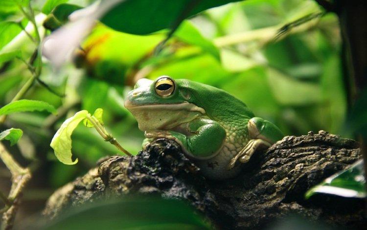 природа, листья, лягушка, сидит, зеленая, амфибия, nature, leaves, frog, sitting, green, amphibian