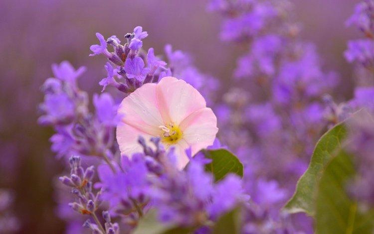 цветы, лаванда, размытость, розовый цветок, flowers, lavender, blur, pink flower
