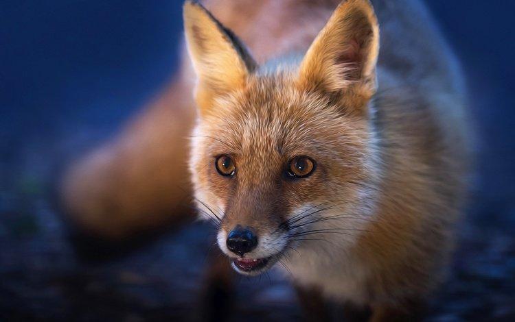 мордочка, взгляд, рыжая, лиса, лисица, хвост, muzzle, look, red, fox, tail