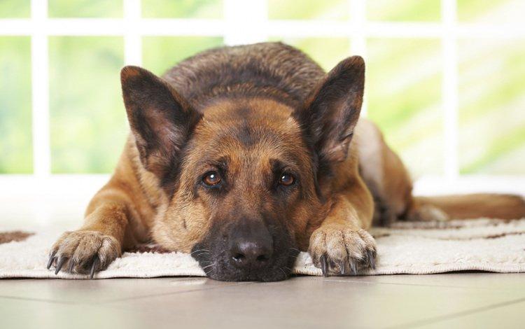 глаза, взгляд, собака, немецкая овчарка, овчарка, eyes, look, dog, german shepherd, shepherd