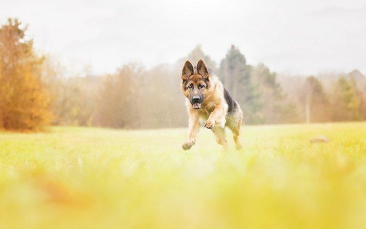 собака, щенок, немецкая овчарка, овчарка, dog, puppy, german shepherd, shepherd
