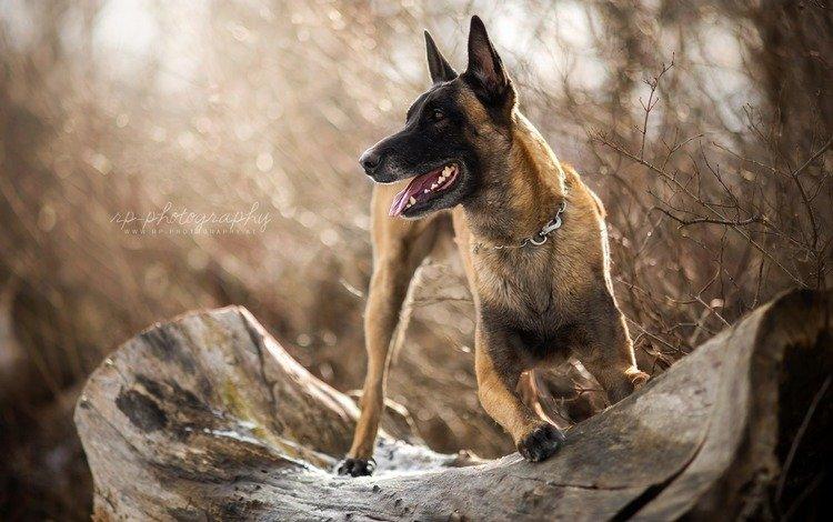 собака, овчарка, малинуа, бельгийская овчарка, dog, shepherd, malinois, belgian shepherd
