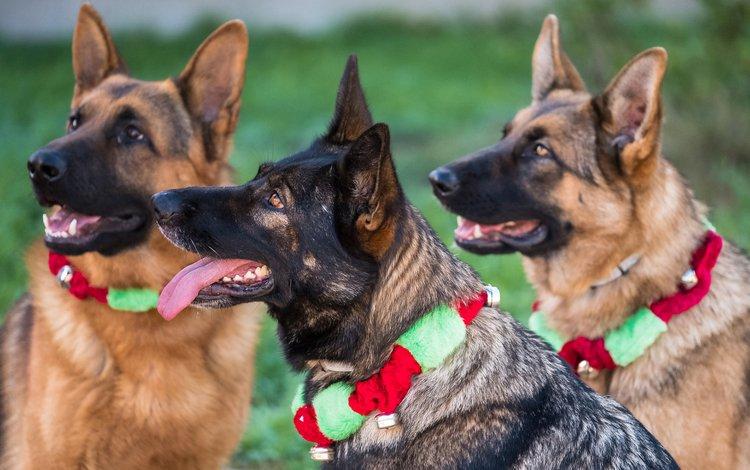 собаки, немецкая овчарка, овчарки, dogs, german shepherd, shepherd