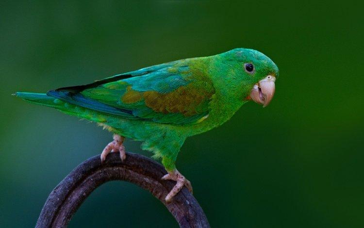 птица, клюв, перья, хвост, попугай, bird, beak, feathers, tail, parrot