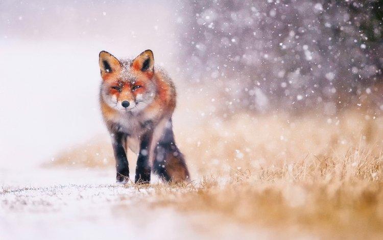 трава, снег, зима, животные, лиса, лисица, хвост, grass, snow, winter, animals, fox, tail