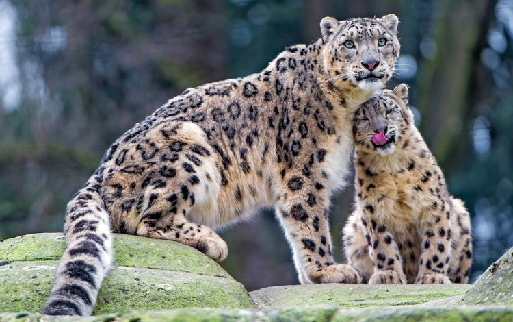 stones, look, wild cats, care, baby, language, snow leopard, zoo, cub, mother, snow leopards