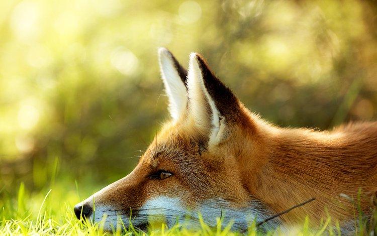 морда, трава, лиса, лисица, face, grass, fox