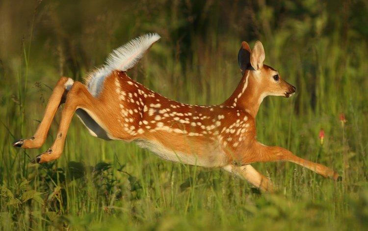 трава, олень, прыжок, бег, детеныш, косуля, олененок, grass, deer, jump, running, cub, roe, fawn