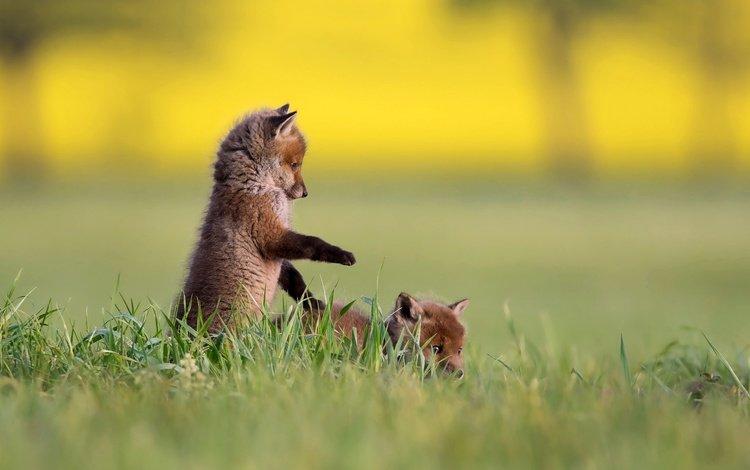 трава, природа, лисята, лисы, grass, nature, cubs, fox
