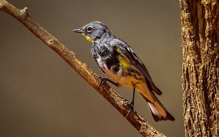 ветка, дерево, птица, клюв, перья, миртовый лесной певун, branch, tree, bird, beak, feathers, myrtle forest songster