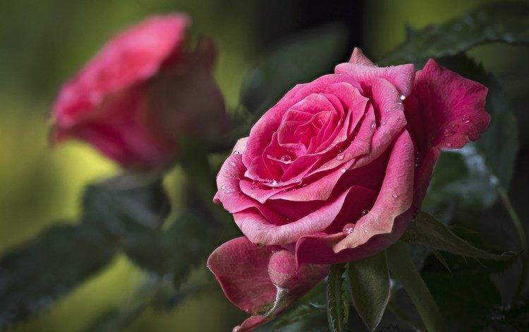 цветы, бутоны, капли, розы, лепестки, flowers, buds, drops, roses, petals