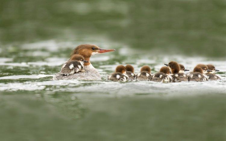 вода, водоем, птицы, клюв, утята, утки, утка, большой крохаль, water, pond, birds, beak, ducklings, duck, goosander