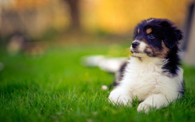 grass, muzzle, look, dog, puppy, australian shepherd