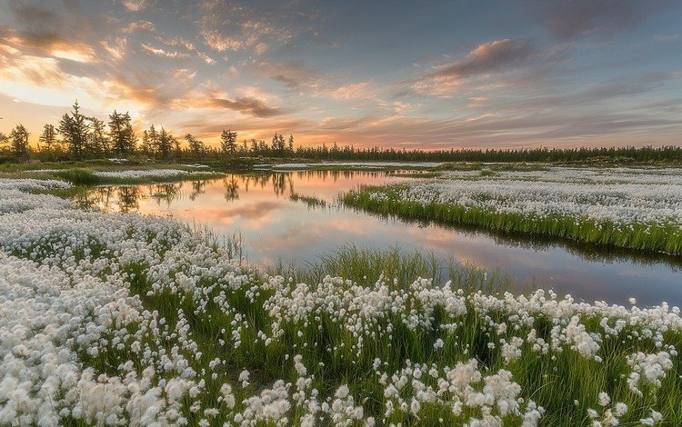 the sky, water, lake, nature, flowering, swamp, sunset, landscape, russia, pavel evgrafov, as cotton grass, yamal