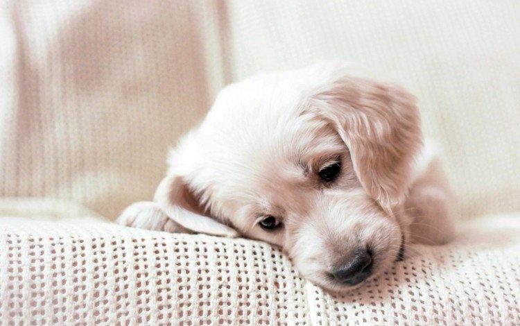 muzzle, look, dog, puppy, golden retriever