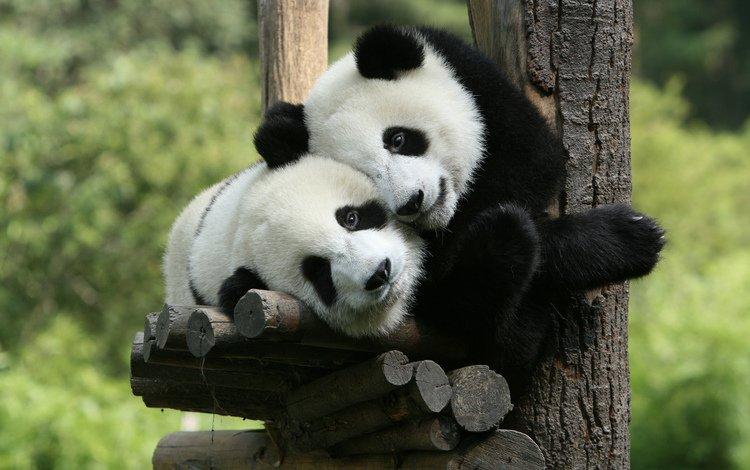 дерево, панда, мишки, медведи, зоопарк, панды, tree, panda, bears, zoo