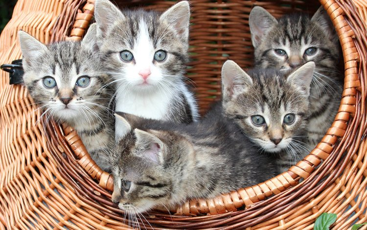 mustache, look, cats, basket, kittens, faces