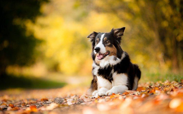 leaves, muzzle, look, autumn, dog, each, australian shepherd