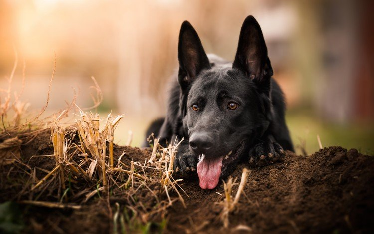 muzzle, look, dog, black, language, german shepherd, shepherd