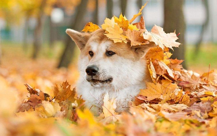 мордочка, взгляд, осень, собака, лист, животное, акита, muzzle, look, autumn, dog, sheet, animal, akita