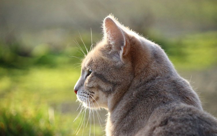 кот, мордочка, усы, кошка, взгляд, профиль, cat, muzzle, mustache, look, profile