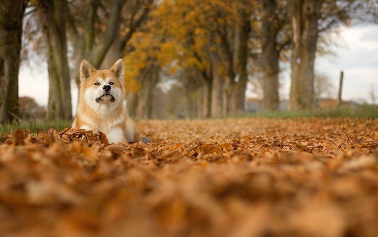 trees, leaves, muzzle, look, dog, shiba inu