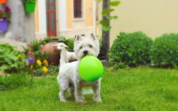 grass, muzzle, look, dog, puppy, ball, the west highland white terrier, a balloon