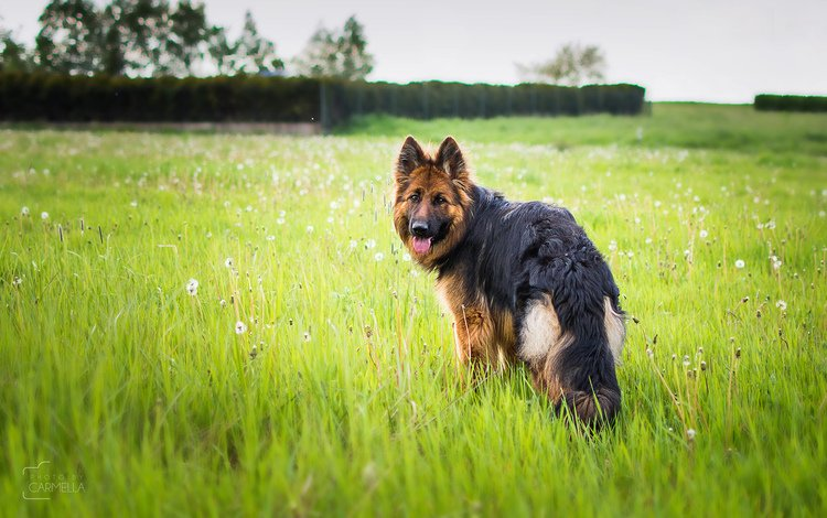 grass, muzzle, look, dog, dandelions, language, german shepherd