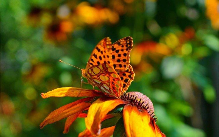 насекомое, фон, цветок, лепестки, бабочка, крылья, insect, background, flower, petals, butterfly, wings