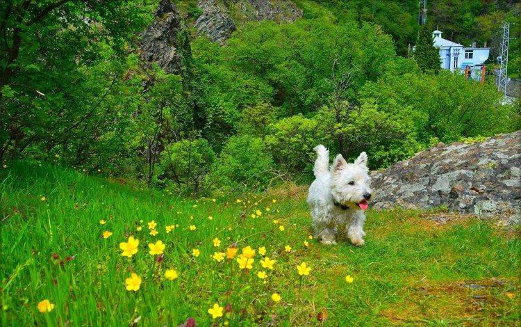 трава, вест-хайленд-уайт-терьер, природа, мордочка, взгляд, собака, щенок, язык, цветочки, grass, the west highland white terrier, nature, muzzle, look, dog, puppy, language, flowers