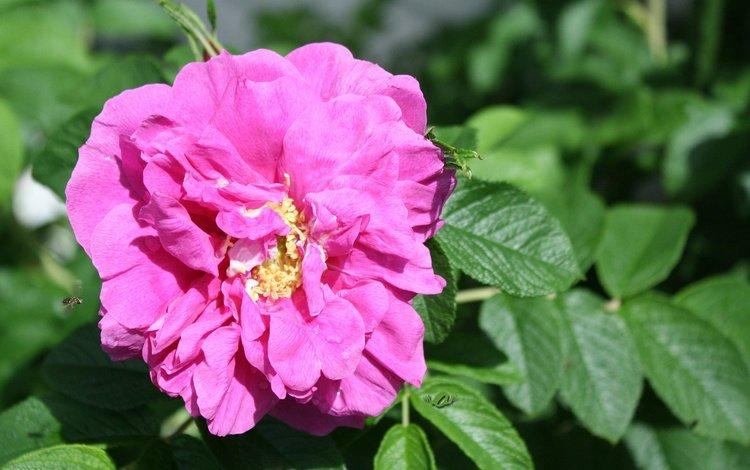 flowering, leaves, flower, rose, petals, bud