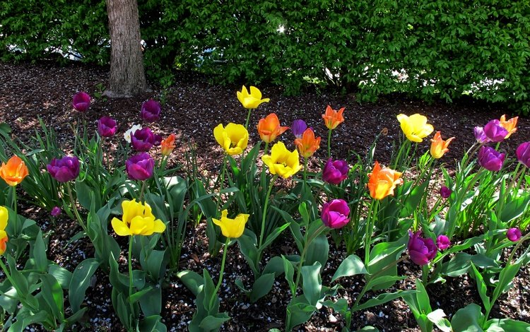 flowers, buds, petals, spring, tulips, stems