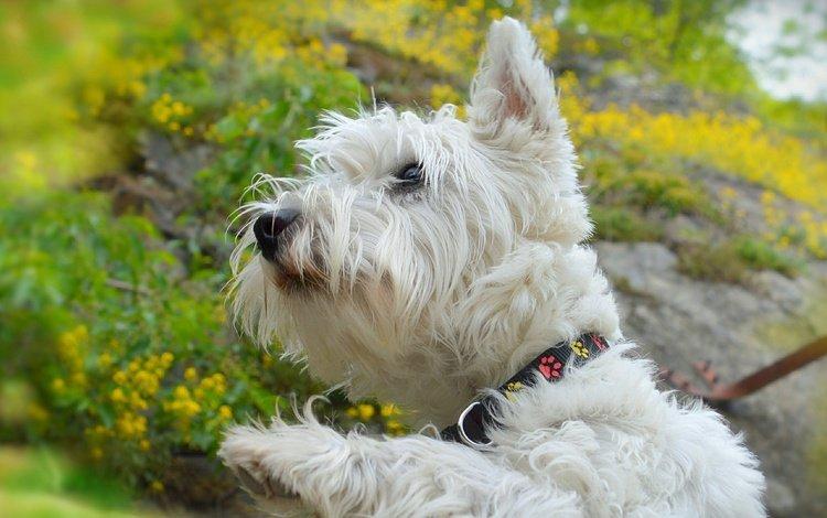 мордочка, взгляд, собака, щенок, ошейник, желтые цветы, вест-хайленд-уайт-терьер, muzzle, look, dog, puppy, collar, yellow flowers, the west highland white terrier
