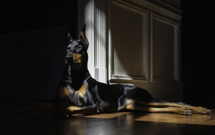 взгляд, собака, лежит, доберман, look, dog, lies, doberman