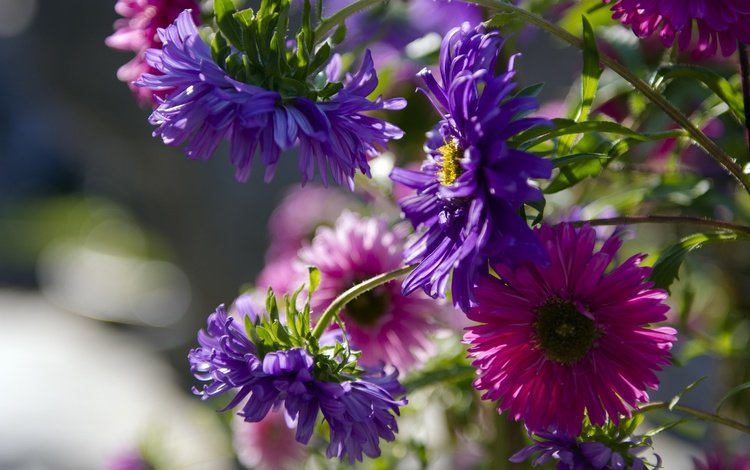 flowering, buds, petals, lilac, asters