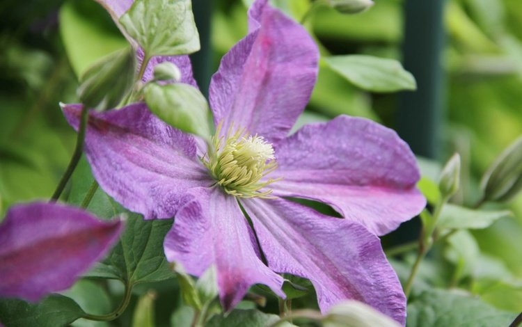 flowers, flowering, leaves, flower, petals, clematis