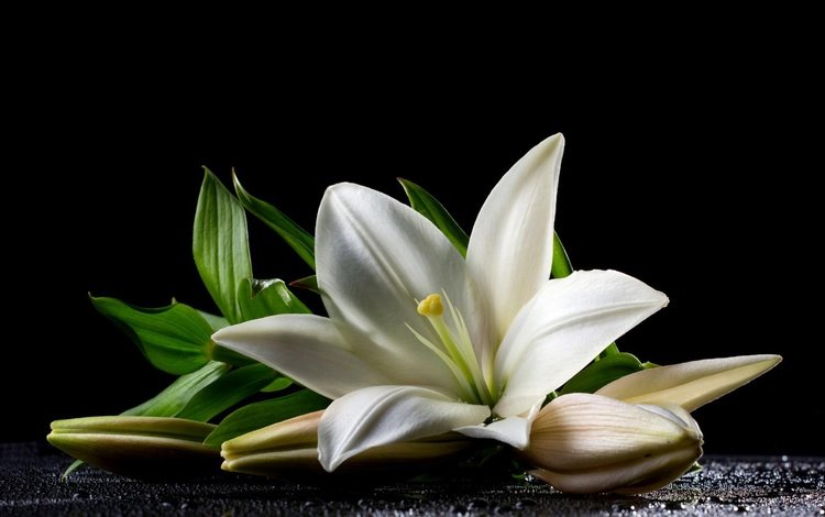 leaves, flower, petals, lily, black background, white