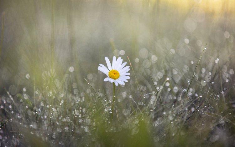 grass, flower, rosa, drops, petals, daisy, blur, rain